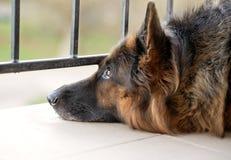 Sad german shepherd dog Stock Images