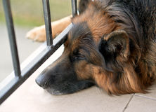 Sad german shepherd dog Royalty Free Stock Images