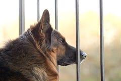 Sad german shepherd dog Royalty Free Stock Photos
