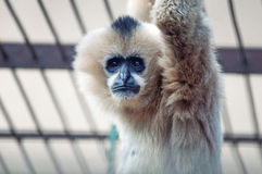 Sad gibbon in zoo Royalty Free Stock Photos