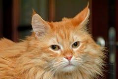Sad gignger cat Royalty Free Stock Photo