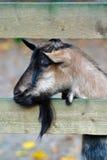 Sad Goat Behind Fence stock photography