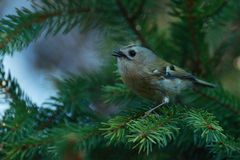 Sad Goldcrest singing Stock Photo