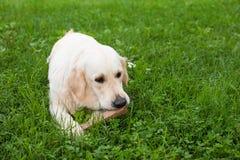 A sad golden retriever gnawing a stick. In the grass Stock Photos