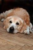 Sad golden retriever lying on the floor Stock Photos