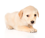 Sad golden retriever puppy dog. isolated on white background Royalty Free Stock Images