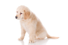 Sad Golden Retriever puppy looking down Stock Photography
