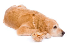 Sad golden retriever with saucer sponge-biscuits Royalty Free Stock Photo