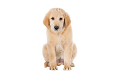 Sad Golden Retriever sitting front view isolated on white Stock Images