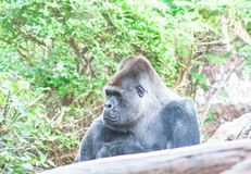 Sad Gorilla sits here and waiting for you stock photos