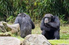 Sad Gorillas Stock Photography
