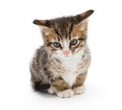 Sad gray kitten Royalty Free Stock Images