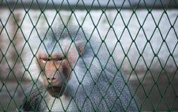 Sad grey baboon at the zoo Royalty Free Stock Photos