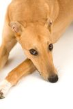Sad Greyhound. A tan greyhound lying on a white background with it's head on its paws stock photography
