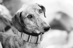 Sad greyhound stock photo