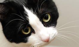 SAD gulliga ögon för katt Arkivbilder