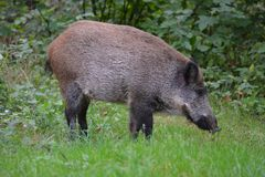 sad hog stands in the middle of a forest clearing dropping penny royalty free stock photo