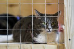 Sad homeless alone cat, looking out from cage behind bars in animal shelter waiting for someone to adopt him. Sad homeless alone cat, looking out from cage in Stock Photo