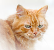 Sad homeless cat portrait closeup Royalty Free Stock Photos