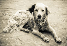 Sad and homeless dog. Black and white image of a sad and homeless dog abandoned on the streets stock photo