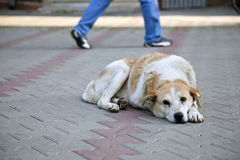 Sad homeless stray dog with ear tag Royalty Free Stock Image