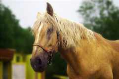 Sad Horse. Looks into the camera royalty free stock photography