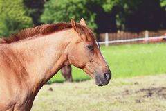 Sad horse Royalty Free Stock Photos