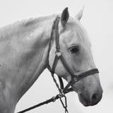 Sad horse animal portrait. Animal portrait of white sad horse on white background royalty free stock photos