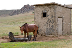 Sad horse at a lodge. Hobbled horse at an unpainted shabby lodge royalty free stock images