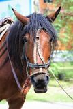 A sad horse from the park - it`s tethered and tired. A sad horse from the park - its tethered and tired stock photos