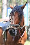 A sad horse from the park - it`s tethered and tired.  royalty free stock photography