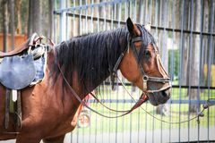 A sad horse from the park - it`s tethered and tired.  stock photos