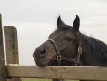 Sad Horse Portrait. The photo of a sad horse under arest on the farm. Missing about freedom Royalty Free Stock Images