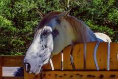Sad horse standing at the wood fence and suffer from molestful flies. Close-up royalty free stock image
