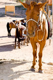Sad horse at tethering post. Sad brown horse tied at tethering post royalty free stock image