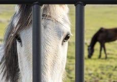 Sad horse. Two horses locked behind some gray metal bars stock photo