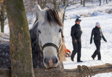 Sad horse at winter open stall Royalty Free Stock Image