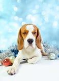 Sad  hound Stock Photography