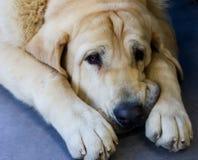 Sad huge beige dog American mastino lying on the floor royalty free stock photos