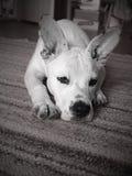 SAD hund Fotografering för Bildbyråer