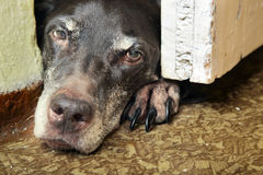 SAD hund Royaltyfria Bilder