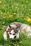 Sad husky dog Royalty Free Stock Photography