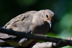 Sad and Introspective Mourning Dove Perched in a Tree Stock Photo