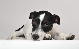 Sad jack russel terrier Stock Photography