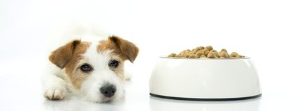 JACK RUSSELL DOG WAITING FOR EAT ITS FOOD. ISOLATED AGAINST WHIT. SAD JACK RUSSELL DOG WAITING FOR EAT ITS BORING FOOD. ISOLATED AGAINST WHITE BACKGROUND WITH royalty free stock images