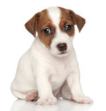 Jack russel on white background Royalty Free Stock Images
