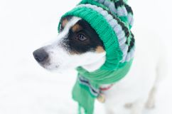 Sad Jack Russell Terrier dog in a green knitted cap and scarf. royalty free stock photo