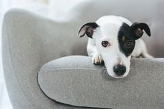 Sad jack russell terrier dog lying. On armchair royalty free stock photo