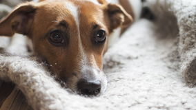 Sad jack russell terrier resting a blanket stock video footage