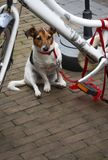 Sad Jack Russell Terrier. Dog tied to a bicycle with a red leash waiting for his owner Stock Photo